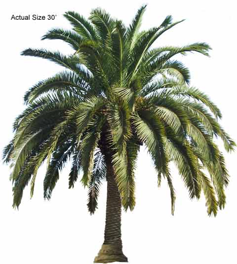 date palm tree in desert. Canary Island Date Palm