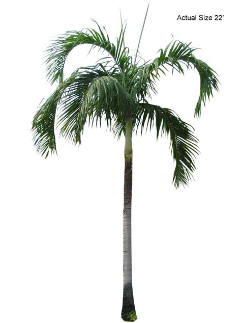 Carpentaria Palm - Large Palm Tree
