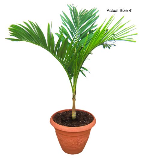 Product: Christmas Palm  Small Palm Tree