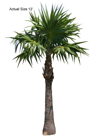 Product: Florida Thatch Palm  Large Palm Tree