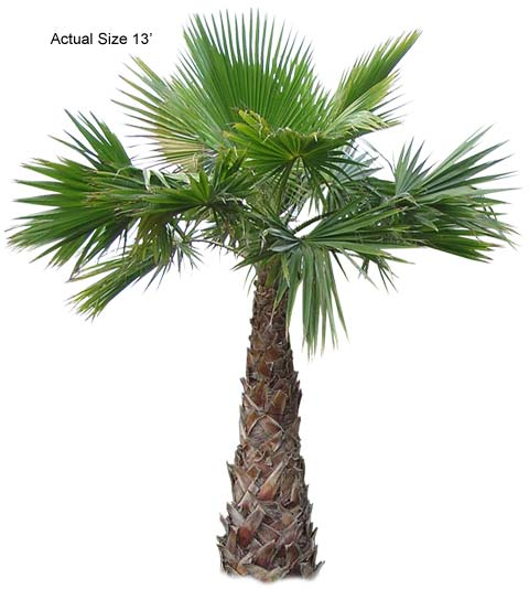 Also known as Washingtonia robusta, Mexican Fan Palm. Real Palm Trees