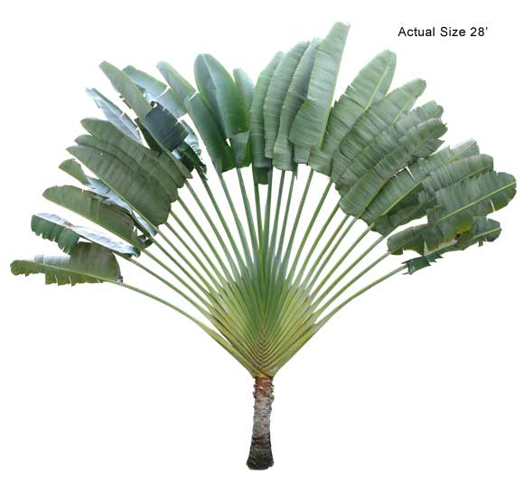Product: Travelers Palm  Large Palm Tree
