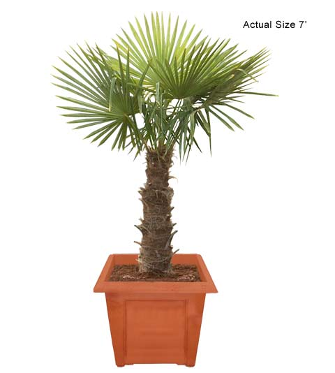 Windmill Palm Tree, Chusan Palm - Trachycarpus fortunei - Indoor ...