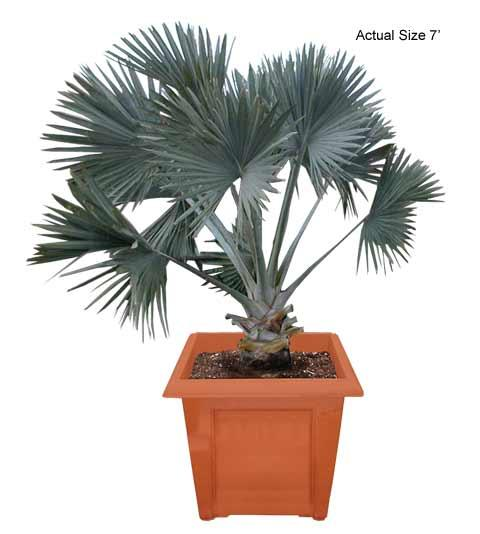 Medium Bismarck Palm Tree