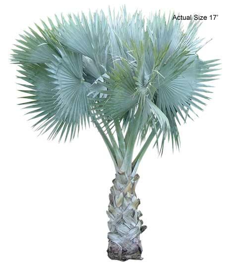 Large Bismarck Palm Tree