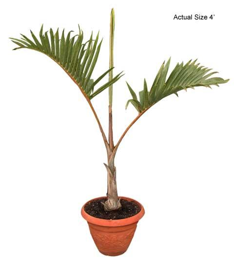 Small Bottle Palm Tree - Hyophorbe lagenicaulis (Web)