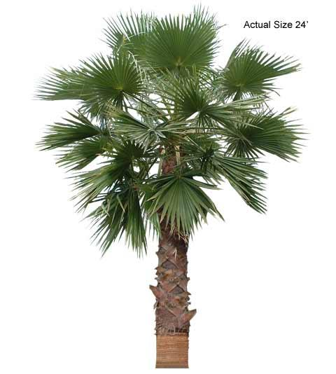 Large California Fan Palm Tree