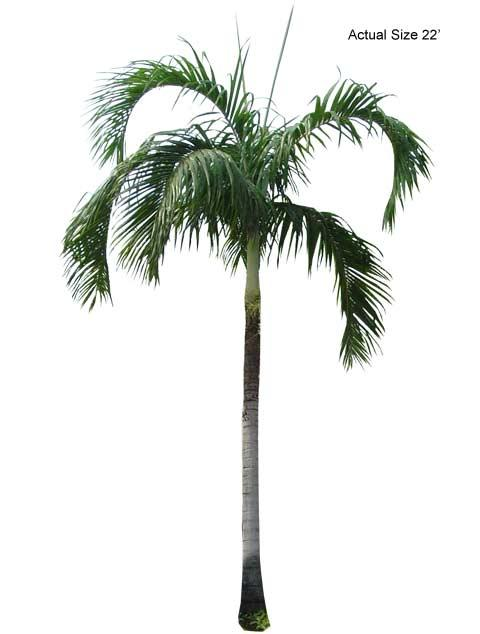 Large Carpentaria Palm Tree