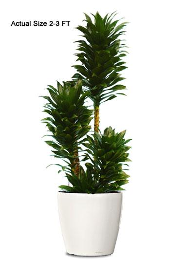Indoor Palm Plants http://realpalmtrees.com/palm-tree-store/small-dracaena-compacta-ornamental-plant.html