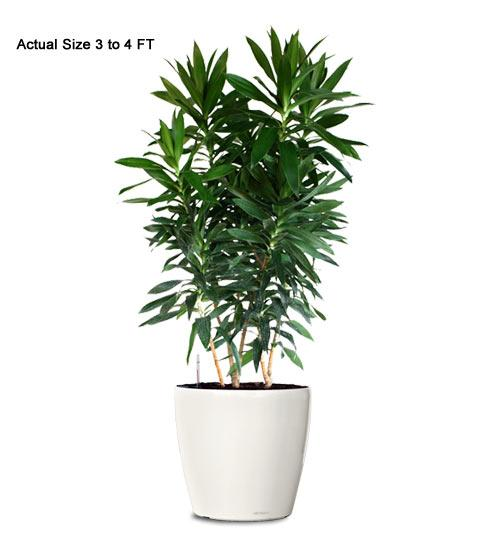 Plants in nanopics small indoor tree - Small trees for indoors ...
