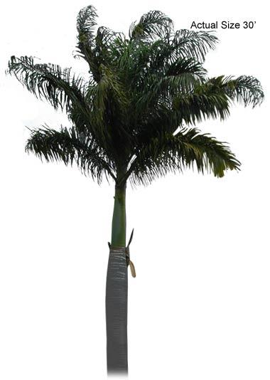 Large Florida Royal Palm Tree
