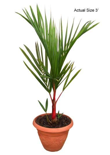 Buy Lipstick Palm Tree Cyrtostachys Renda