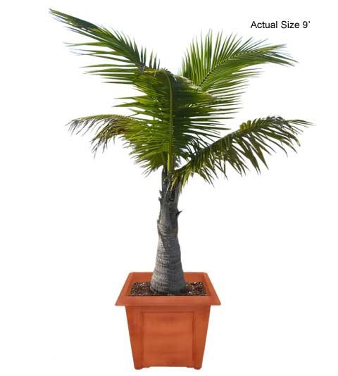 Malayan Coconut Palm Tree, Coconut Palm, Cocos nucifera