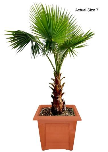 Mexican Fan Palm Tree, Washington palm, Washingtonia robusta
