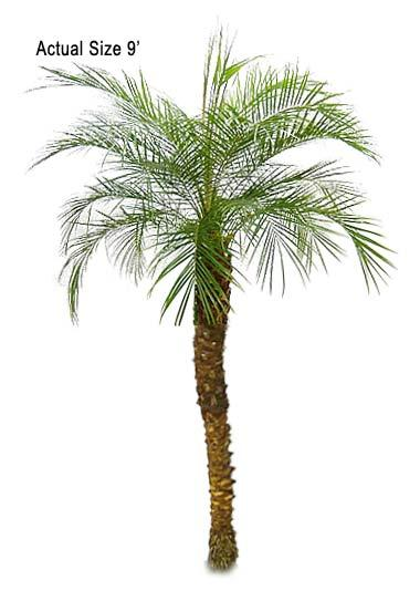 canary date palm tree. Large Pygmy Date Palm Tree