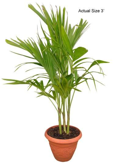Multi Stem Christmas Palm Tree - adonidia merrillii