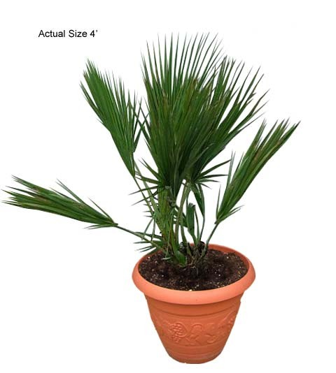 Everglades Palm Tree - Acoelorrhaphe wrightii Buy Palms (Web)