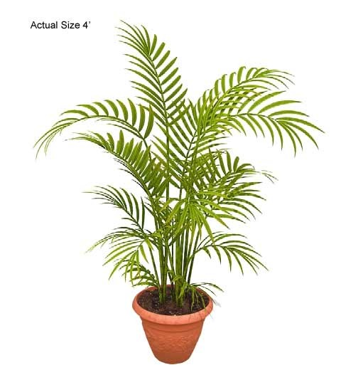 Small  Areca Palm Tree - Dypsis lutescens Web
