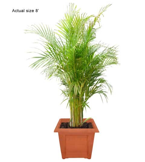 Medium Areca Palm Tree - Dypsis lutescens