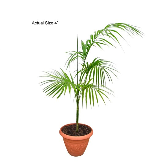 Assai Palm-tree - Euterpe edulis (Acai Palm)