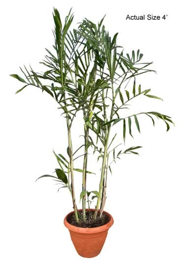 Small Bamboo Palm Tree - Chamaedorea seifrizii (Web)