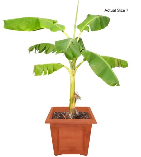 Medium Banana  Tree