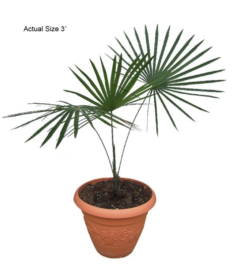 Puerto Rican Thatch Palm - Coccothrinax barbadensis (web)