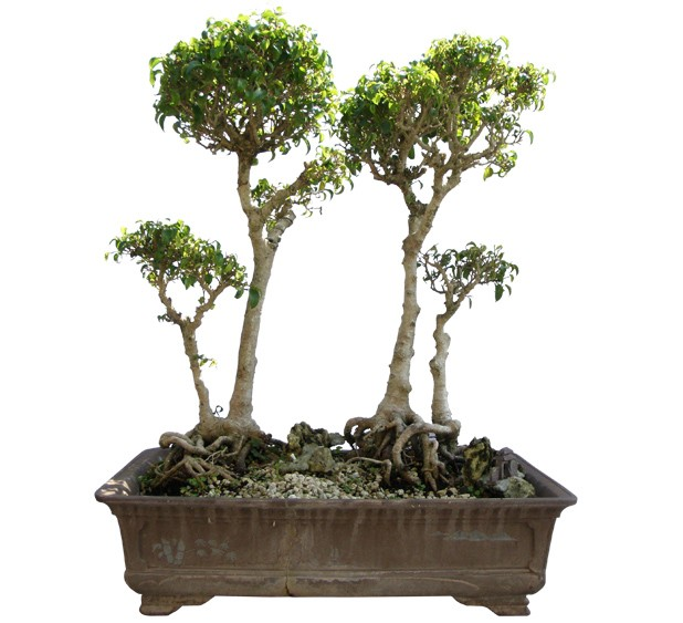 "Benjamin Ficus Bonsai Tree 31"" Tall: Small (Web)"