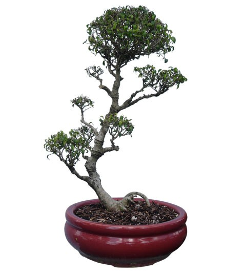 "Benjamin Ficus Bonsai Tree 30"" Tall: Small Bonsai (Web)"