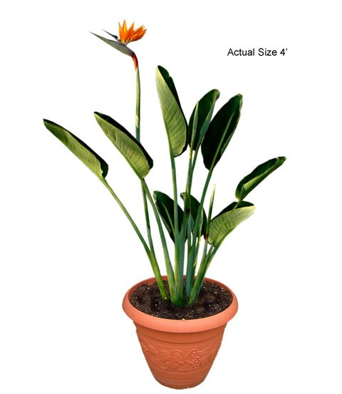 Small Bird of Paradise Palm Tree - Strelitzia reginae (Web)