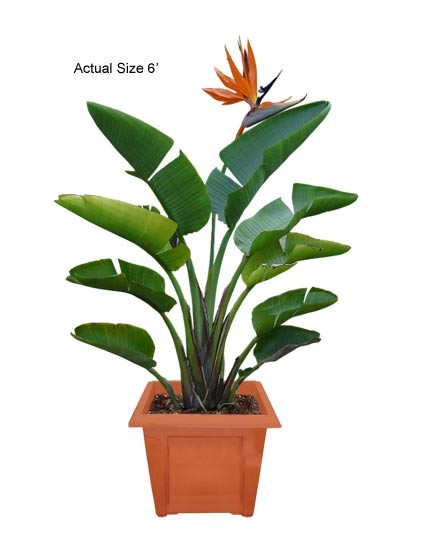 Bird of Paradise: Medium Strelitzia reginae Web