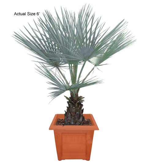 Medium Blue Hesper Palm Tree - Brahea armata (web)
