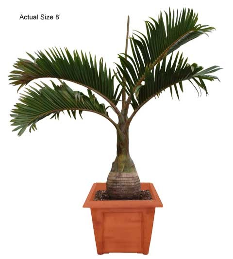 Medium Bottle Palm Tree - Hyophorbe lagenicaulis (Real Palm Trees)