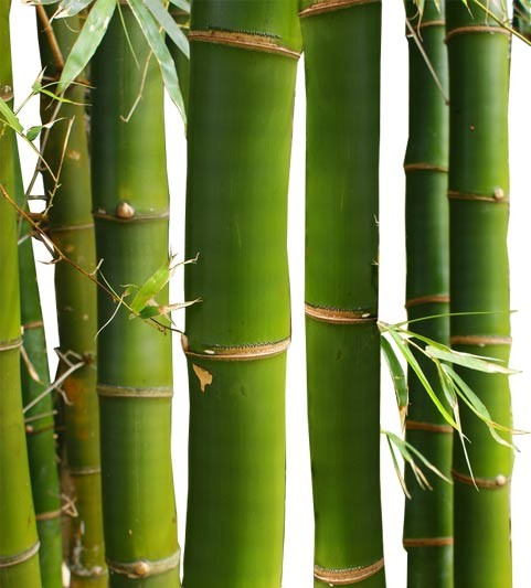 Buy Common Bamboo Palm Tree Medium RealPalmTrees.com Bambusa Vulgaris regular Web