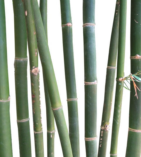 Buy Oldham Bamboo Palm Tree Medium Real Palm Trees Bambusa Oldhamii web