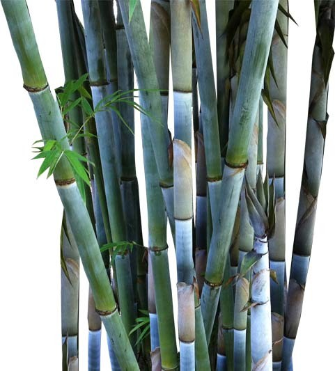Buy Tropical Blue Bamboo Palm Tree-medium-real palm Trees Bambusa chungii Web