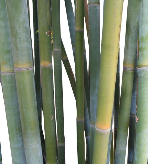 Buy Weaver's Bamboo Palm Tree Medium Real Palm Trees Bambusa Textilis web