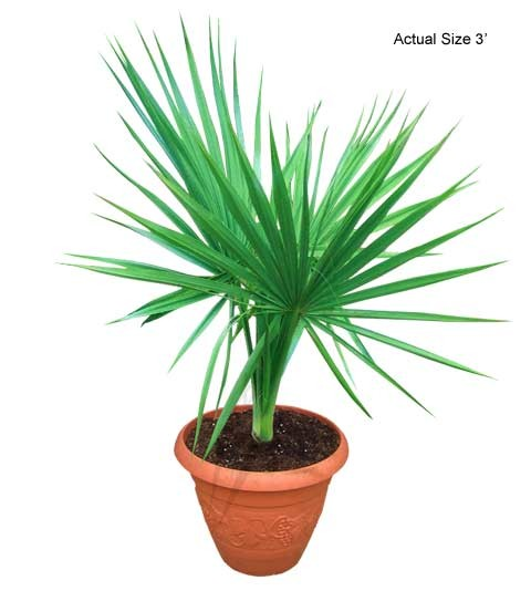 Small Cabbage Palm Tree - Sabal palmetto (Web)