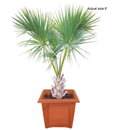 Medium Cabbage Palm Tree Sabal palmetto - Real Palm Trees