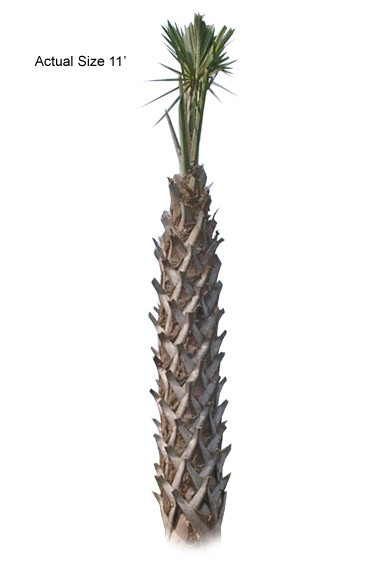 Cabbage Palm Tree: Large
