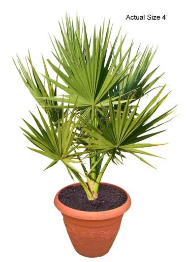 Small California Fan Palm Tree - Washingtonia filifera (Thumb)