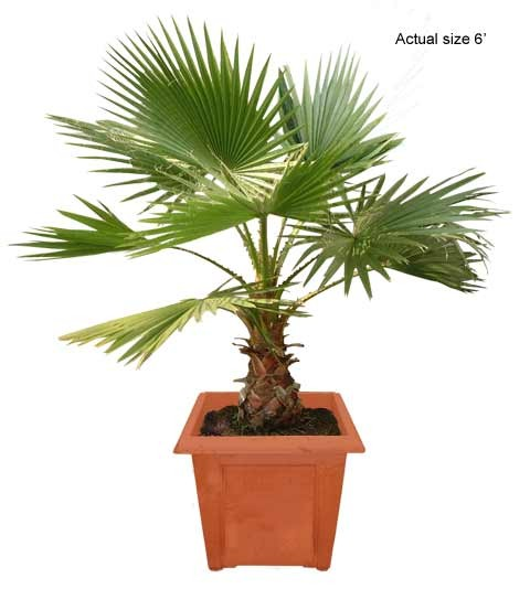 Medium California Fan Palm Tree Washingtonia filifera - Real Palm Trees