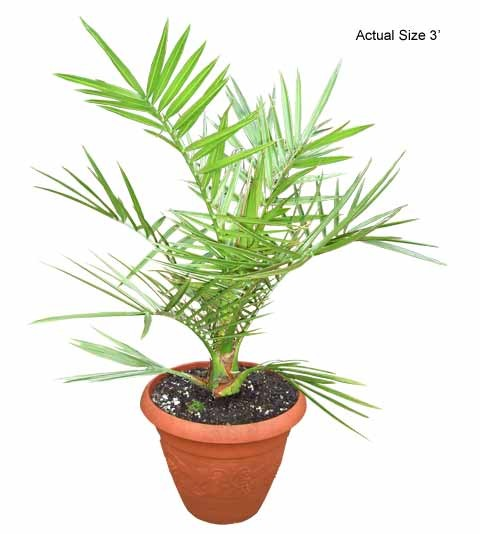 Small Canary Island Date Palm Tree - Phoenix Canariensis (Web)