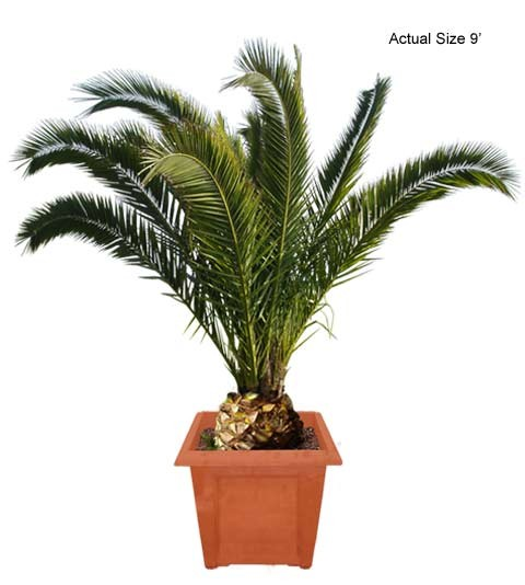 Medium Canary Island Date Palm Tree - Phoenix Canariensis