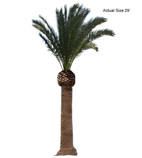 Large Canary Island Date Pruned Palm Tree