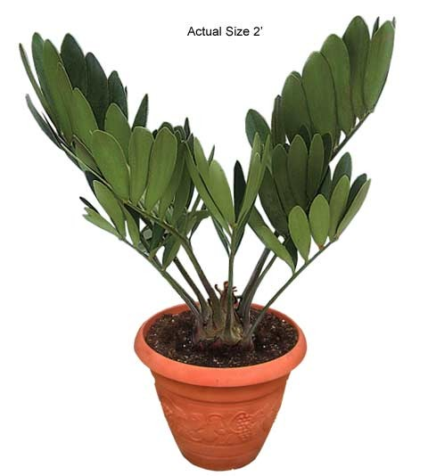 Small Cardboard Palm Tree - Zamia furfuracea (Web)