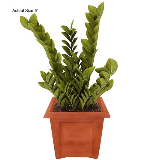 Medium Cardboard Palm Tree - Zamia furfuracea