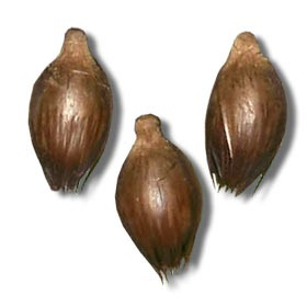 Carpentaria Palm Seeds
