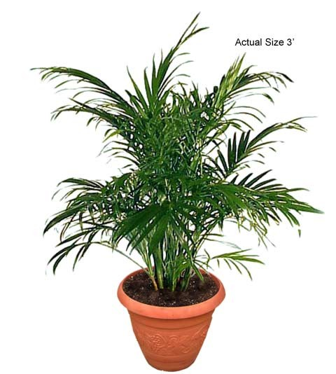 Small Cat Palm Tree, Chamaedorea cataractarum, Cat Palm,