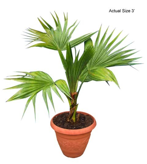 Small Chinese Fan Palm Tree - Livistona chinensis (Web)